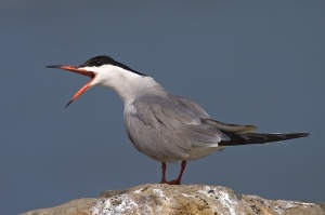 כתובת התמונה : http://inpa.co.il/wp-content/uploads/2012/04/common-tern.jpg